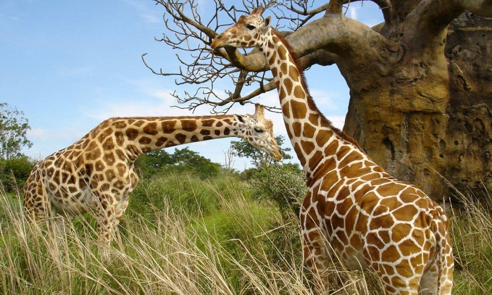 giraffes-uganda-994x597
